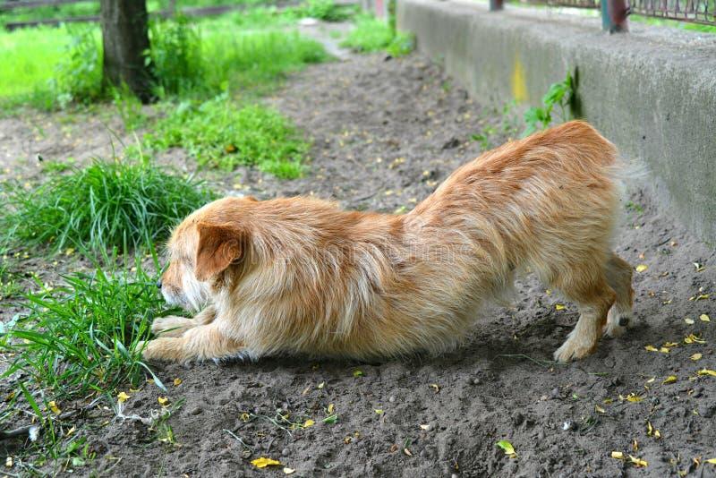 El estirar del perro imagen de archivo libre de regalías