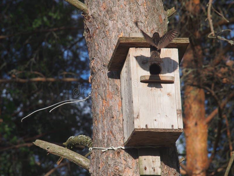El estornino lleva la comida a los polluelos en la pajarera fotos de archivo libres de regalías