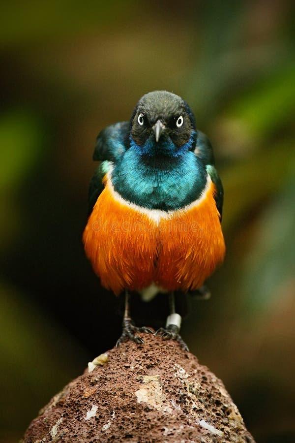 El estornino magnífico, el pájaro azul y anaranjado exótico, visión cara a cara, sentándose en la piedra, encontraron en Sudán su fotos de archivo