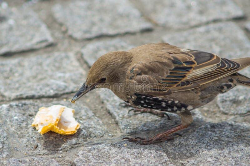 El estornino que el pájaro come el helado cayó en el pavimento en ciudad imagen de archivo