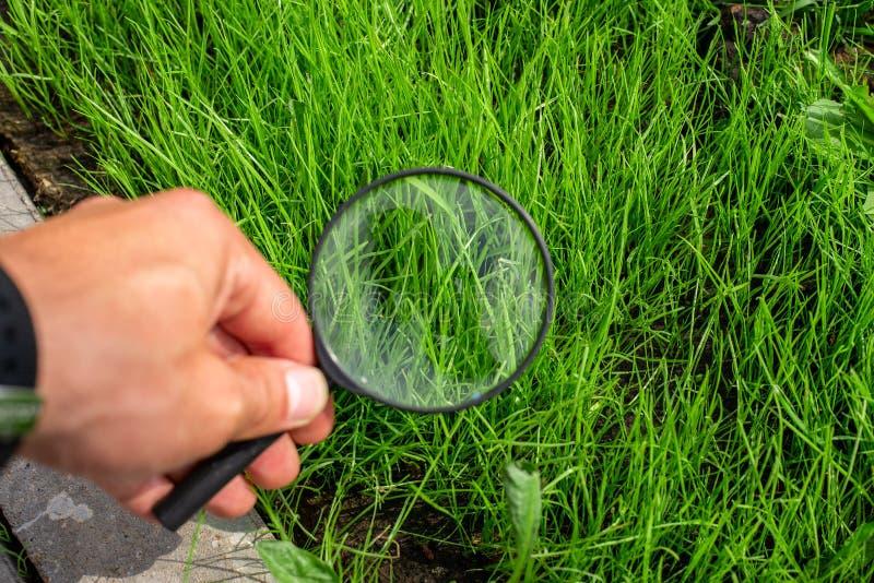 El estudiar de una hierba verde a través de una lupa en una mano masculina, ecología, botánica fotografía de archivo libre de regalías