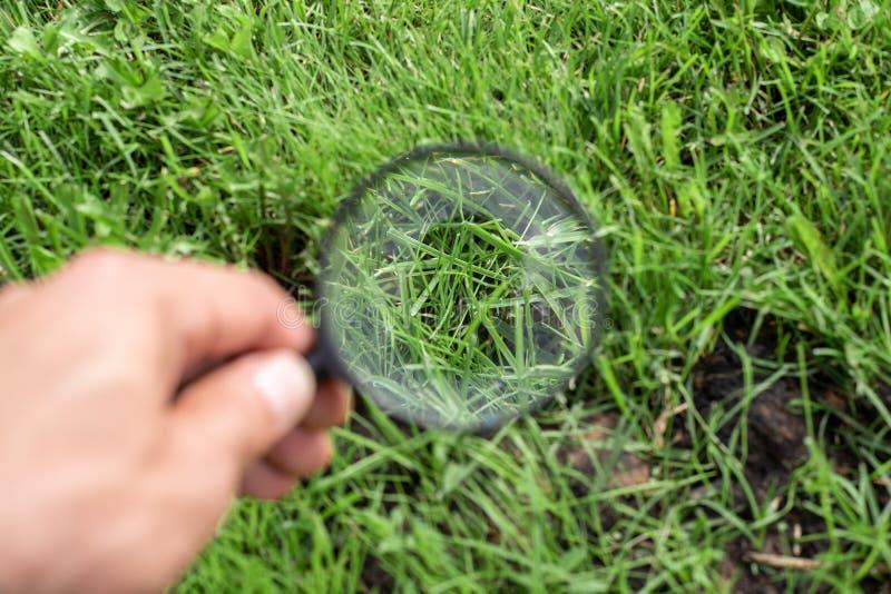 El estudiar de una hierba verde a través de una lupa en una mano masculina, ecología, botánica fotos de archivo