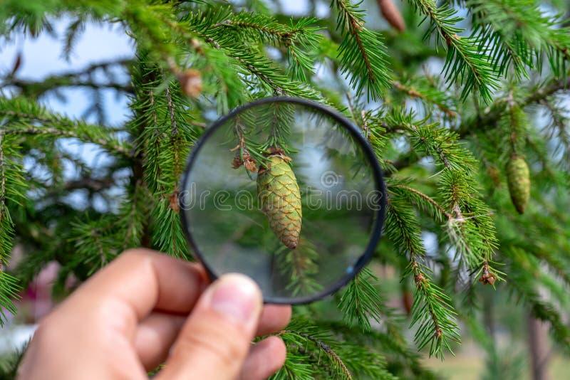 El estudiar del cono del pino a través de una lupa en una mano masculina, ecología, botánica fotos de archivo