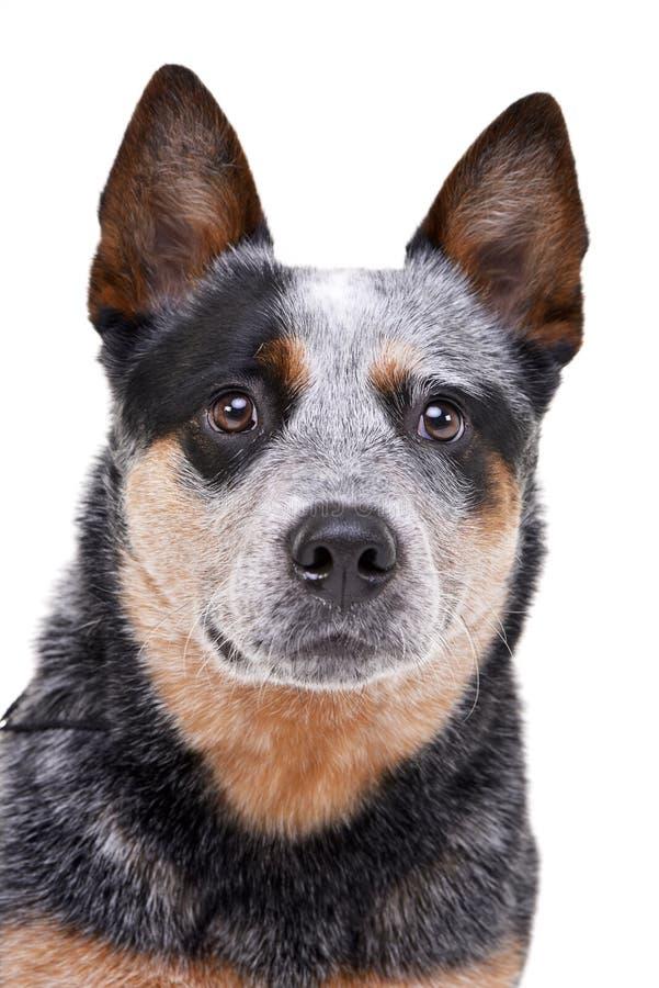 El estudio tiró de un perro australiano adorable del ganado imagen de archivo libre de regalías