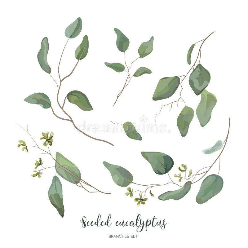 El eucalipto sembró diverso na del follaje del arte verde de plata del diseñador ilustración del vector