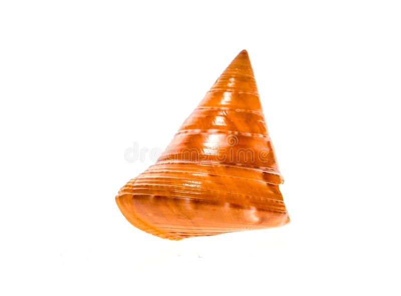 El europeo pintó slu del caracol de mar del zizyphinum de Topshell - de Calliostoma fotografía de archivo libre de regalías