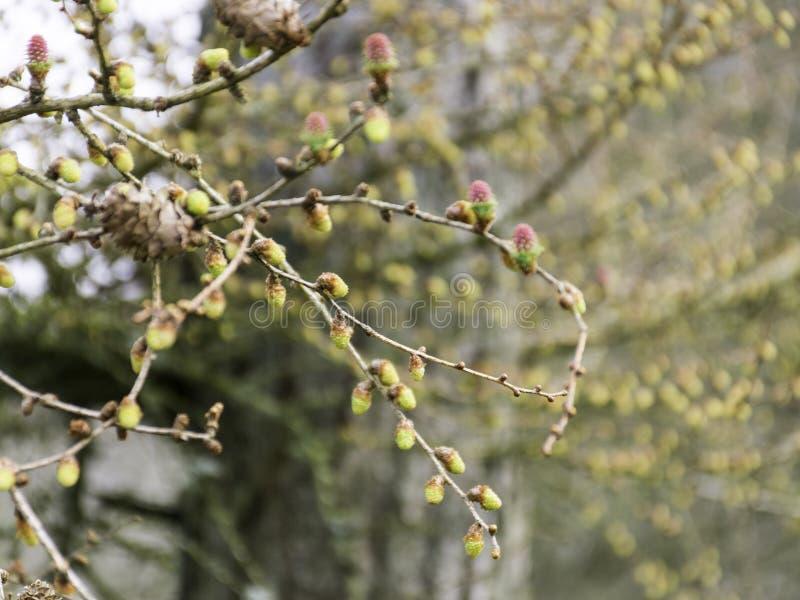 El extracto, las ramas de árbol y los brotes saltan, imágenes de archivo libres de regalías