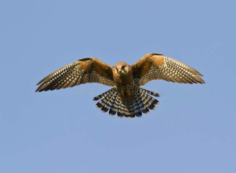 El falcon-2 Rojo-footed femenino. fotos de archivo