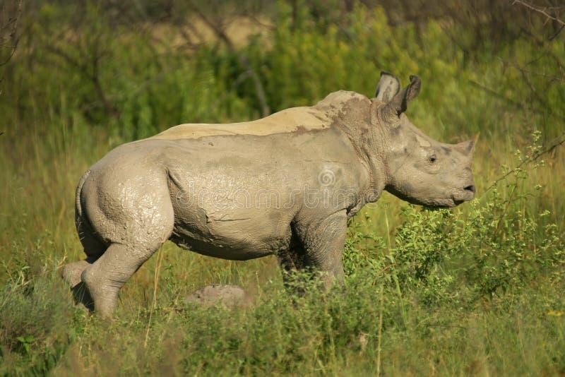 El fango cubrió el becerro del rinoceronte foto de archivo