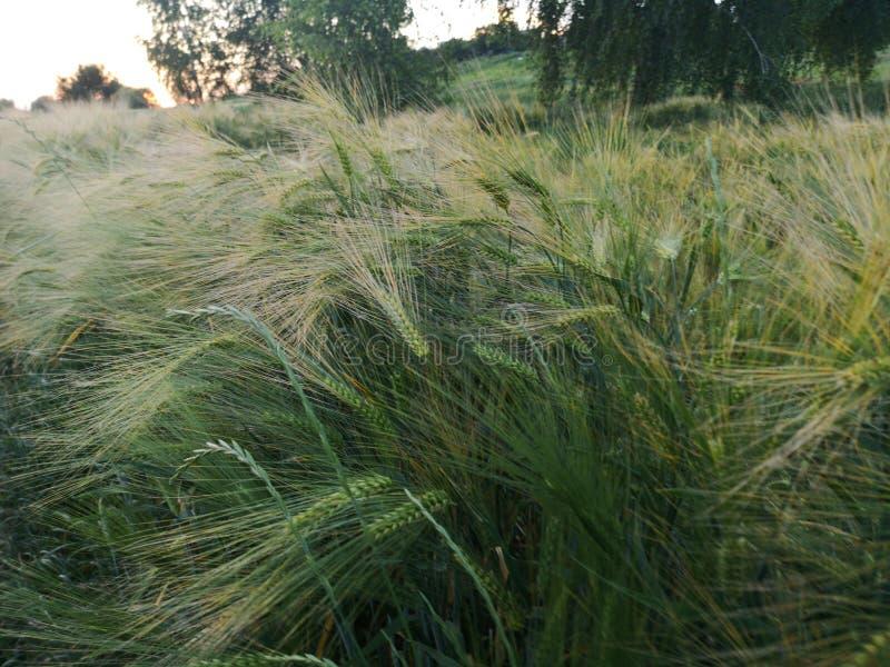 El farmer& x27; las cosechas de la cebada de s en el campo son verdes en la primavera foto de archivo