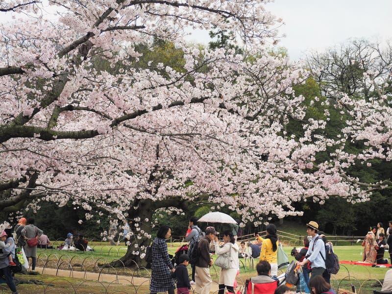 El festival de goce japonés de las flores de cerezo adentro korakuen el jardín fotos de archivo