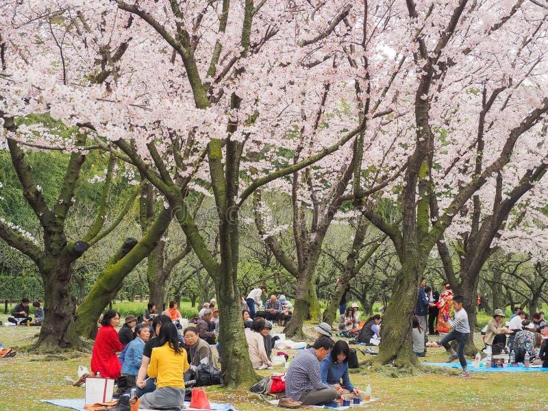 El festival de goce japonés de las flores de cerezo adentro korakuen el jardín foto de archivo