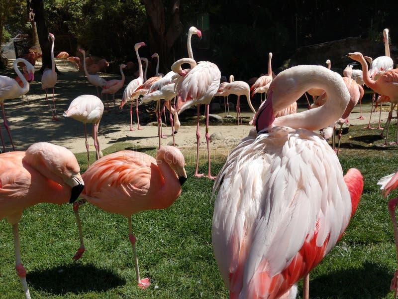 El flamenco grande se atusa plumas del ala en una multitud en el césped del parque zoológico del LA imagenes de archivo