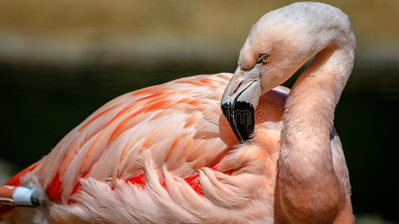 El flamenco limpia sus plumas en el San Francisco Zoo fotos de archivo libres de regalías