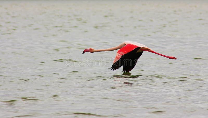 El flamenco rosado solo hermoso vuela sobre el mar fotografía de archivo libre de regalías