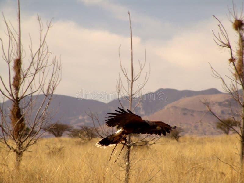 El Flaying del halcón de Harris imagen de archivo libre de regalías