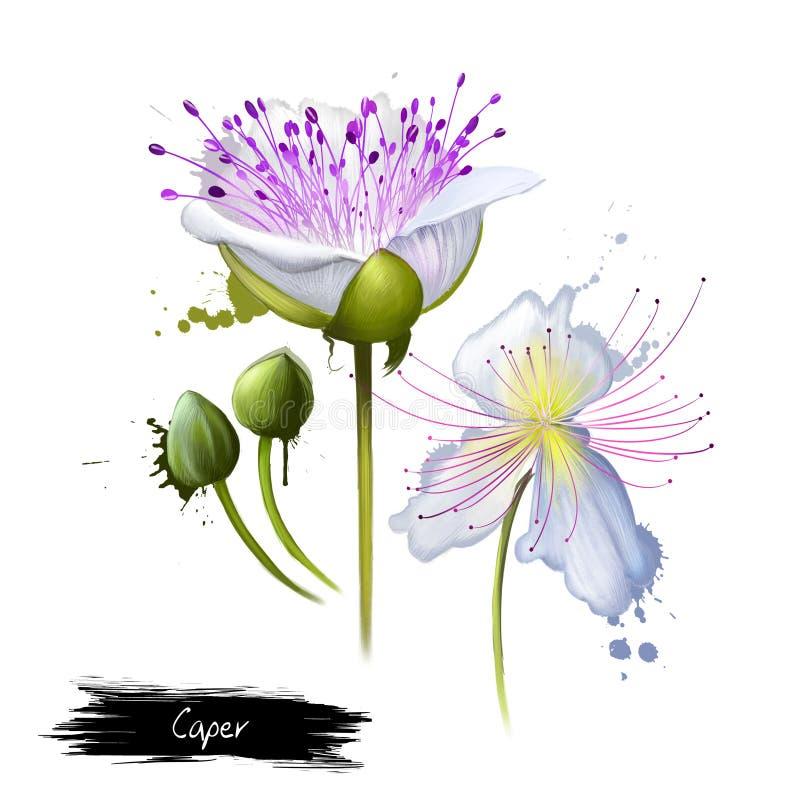 El Flinders del arbusto de la alcaparra del spinosa del Capparis subió Digitaces ilustración del vector
