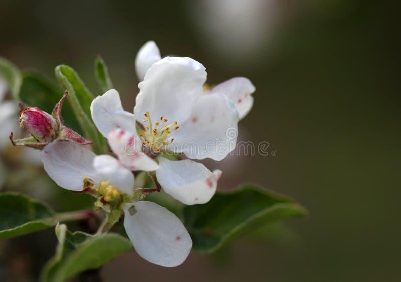 Download El Flor De La Manzana Florece El Tiro Macro Foto de archivo - Imagen de caliente, brillante: 44855620