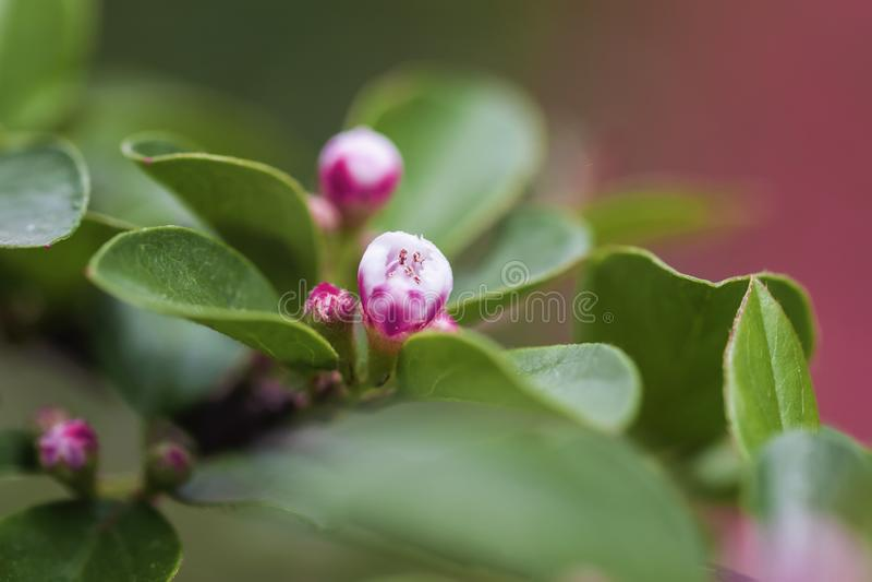 El flor de la primavera, floración de la manzana, Sakura florece el primer, fondo natural fotografía de archivo