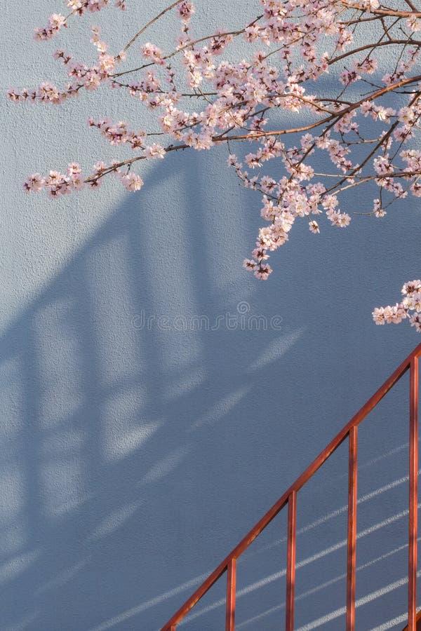 El flor del albaricoque en la plena floración cerca de las escaleras fotos de archivo
