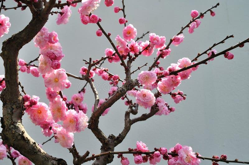 El flor del ciruelo imagen de archivo libre de regalías
