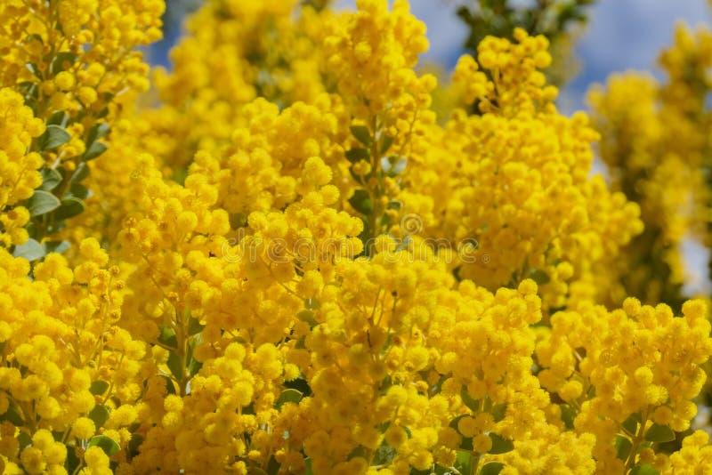 El flor hermoso del chinchillensis del acacia (zarzo de la chinchilla) imágenes de archivo libres de regalías