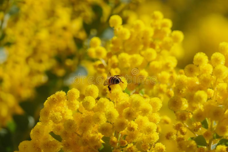 El flor hermoso del chinchillensis del acacia (zarzo de la chinchilla) imagen de archivo