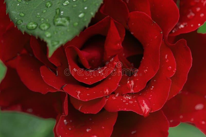 El flor subió con gotas del agua de la lluvia en las flores verdes del fondo para el amor para mujer y las madres foto de archivo libre de regalías