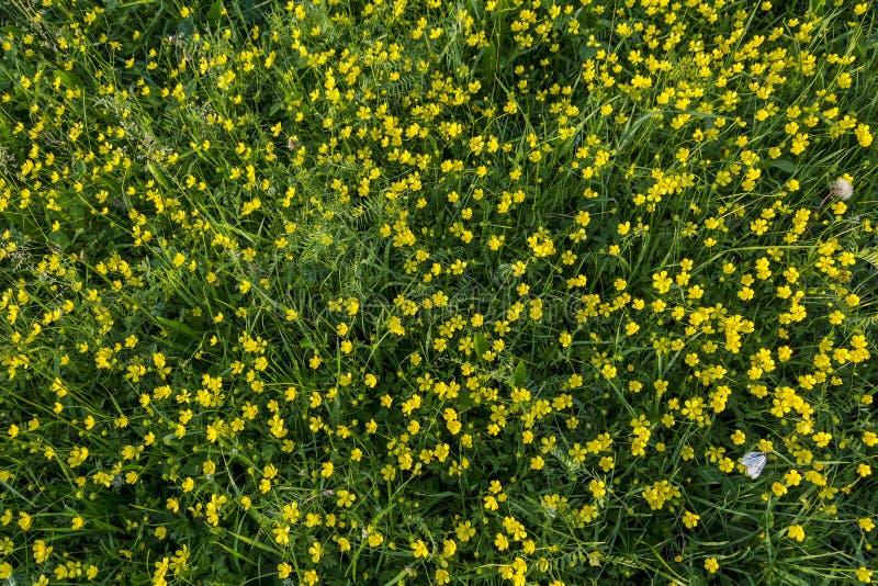El florecimiento enorme del ranúnculo acre fotos de archivo