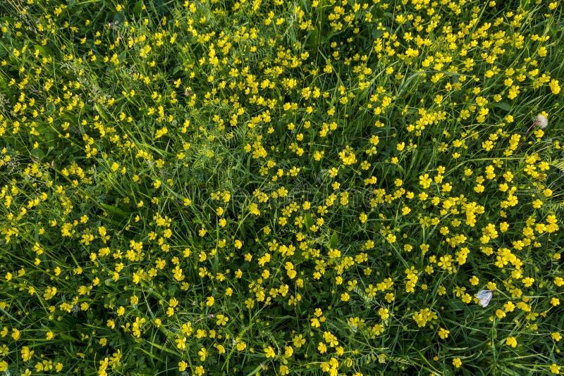 El florecimiento enorme del ranúnculo acre fotografía de archivo