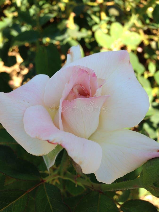 Download El florecimiento subió foto de archivo. Imagen de jardines - 44854710