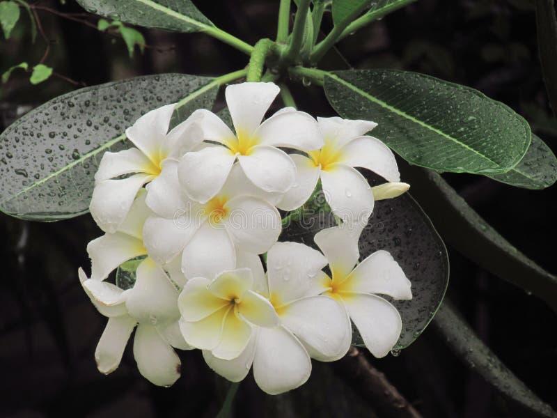 El flowerer del Plumeria que florece en árbol con las gotitas después de lluvia hace la restauración imágenes de archivo libres de regalías