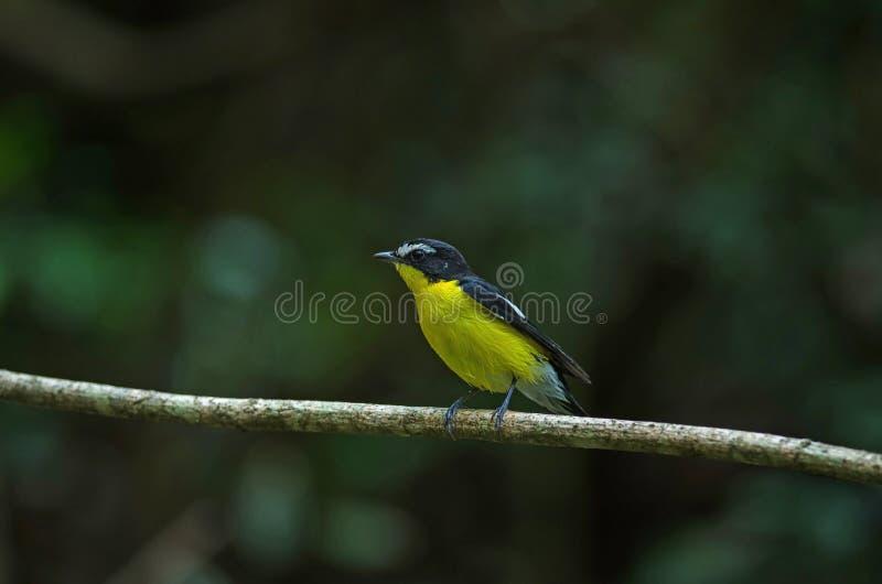 El flycatcher amarillento Ficedula zanthopygia en la naturaleza fotos de archivo