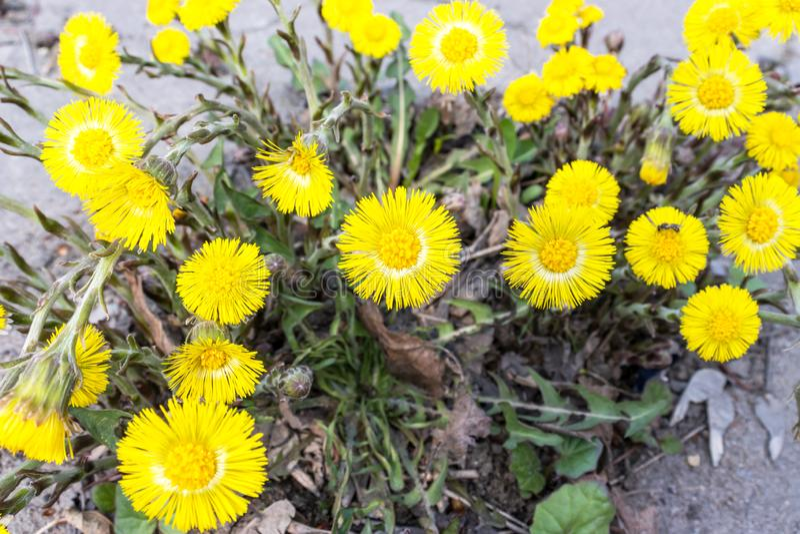 El foalfoot amarillo brillante florece farfara del tussilago en piso pedregoso Grupo de flores de la primavera imágenes de archivo libres de regalías