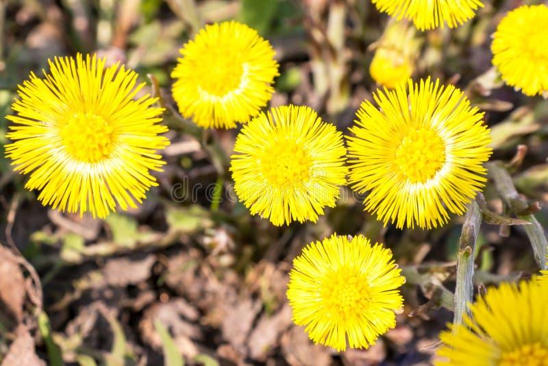 El foalfoot amarillo brillante florece farfara del tussilago en piso pedregoso Grupo de flores de la primavera fotografía de archivo libre de regalías