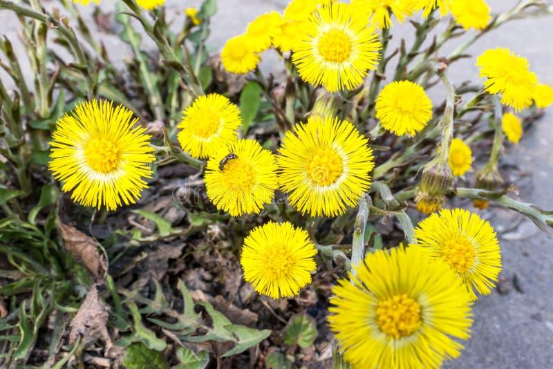 El foalfoot amarillo brillante florece farfara del tussilago en piso pedregoso Grupo de flores de la primavera foto de archivo