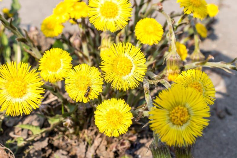 El foalfoot amarillo brillante florece farfara del tussilago en piso pedregoso Grupo de flores de la primavera imagen de archivo