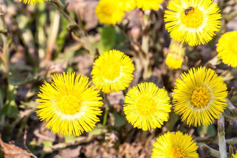 El foalfoot amarillo brillante florece farfara del tussilago en piso pedregoso Grupo de flores de la primavera fotos de archivo libres de regalías