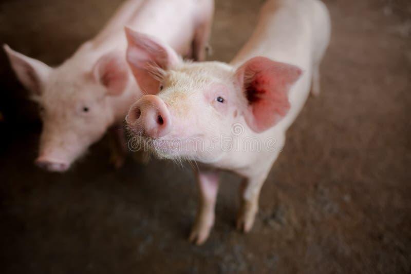 El foco está en nariz Profundidad del campo baja Cerdos en la granja imagenes de archivo