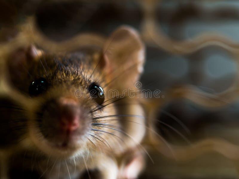 El foco suave de la rata estaba en una jaula que cogía una rata la rata tiene contagio la enfermedad a los seres humanos tales co fotos de archivo libres de regalías