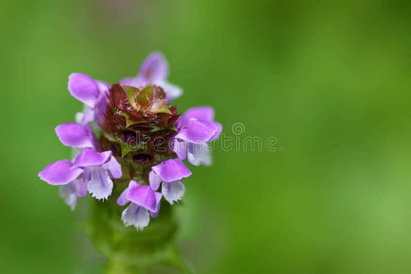 El foco suave del uno mismo cura la planta, conocida como cura todos y su púrpura fotografía de archivo libre de regalías
