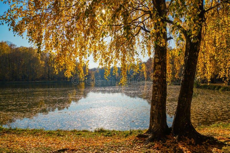 El follaje de oro de los giros de los abedules en el agua azul de la charca foto de archivo