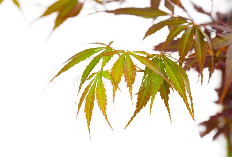 El follaje del otoño, árbol de arce rojo japonés se va imagenes de archivo
