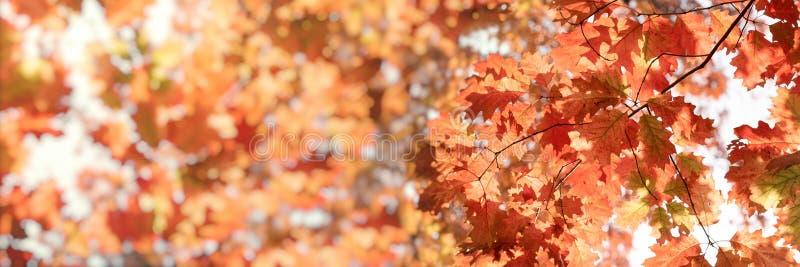El follaje del otoño, hojas en árbol se encendió por la naturaleza hermosa de la luz del sol en otoño imagen de archivo