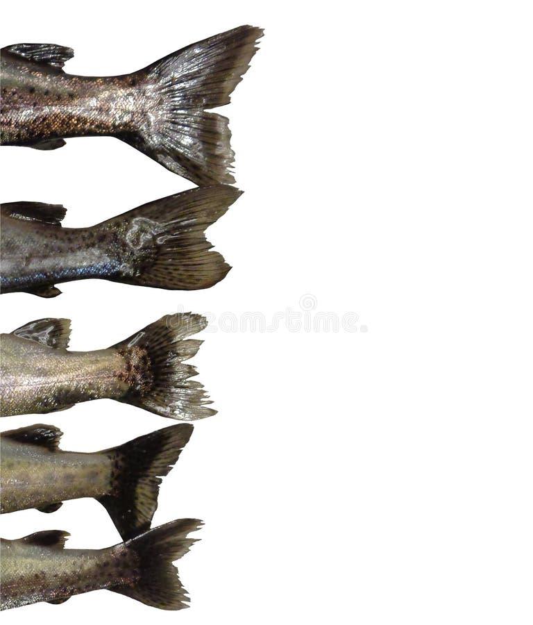 El fondo aislado las colas de cinco de los pescados mykiss de Oncorhynchus pagina L foto de archivo libre de regalías