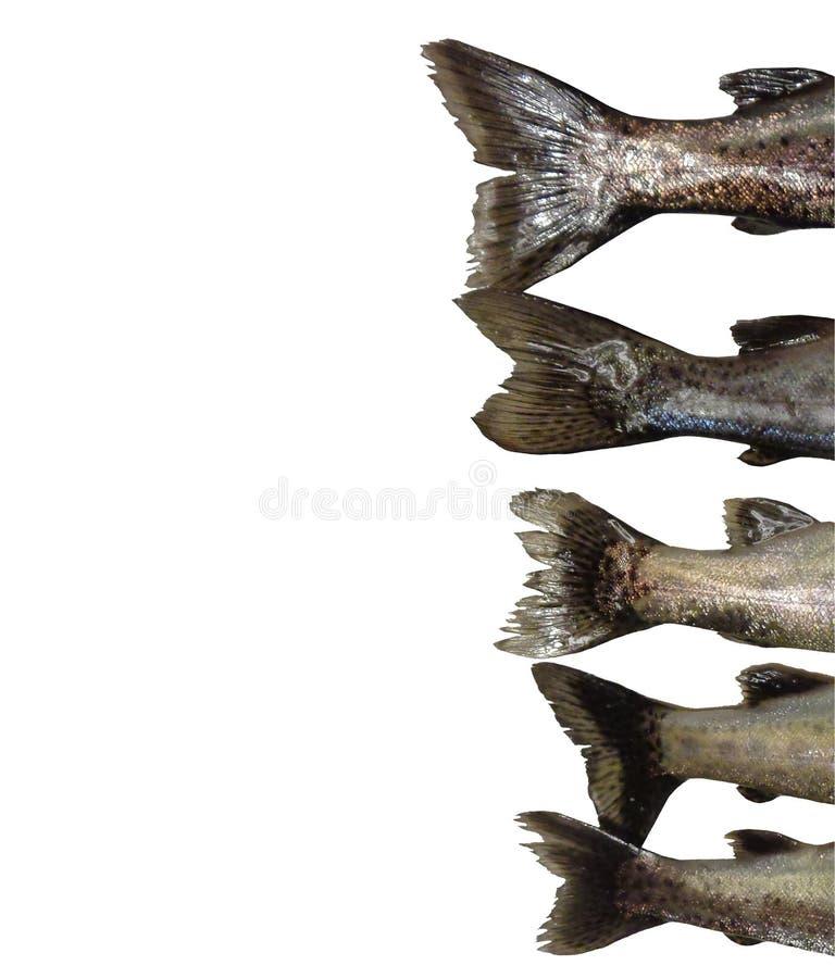 El fondo aislado las colas de cinco de los pescados mykiss de Oncorhynchus pagina R fotos de archivo libres de regalías