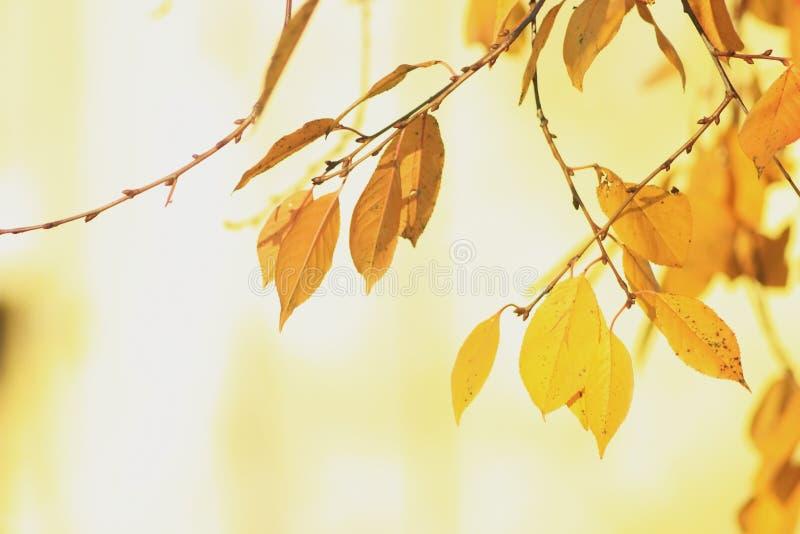 El fondo amarillo del follaje sol-empapó el oro del otoño fotografía de archivo