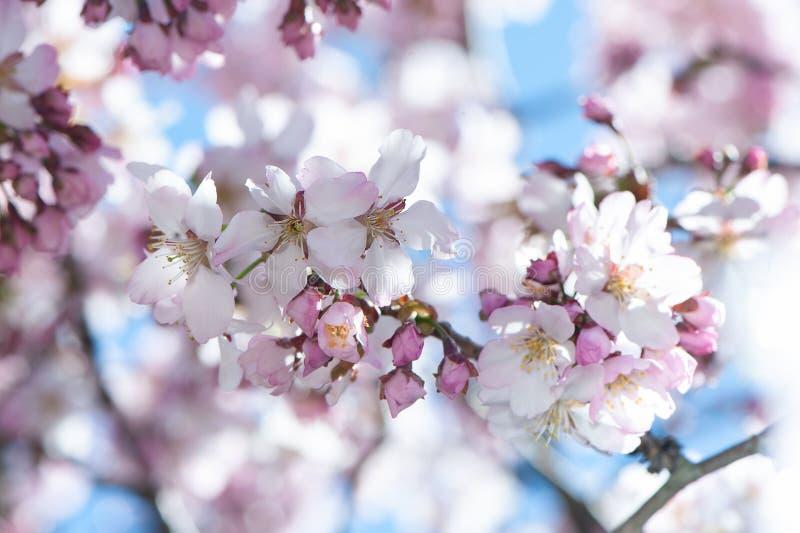 El fondo apacible de la primavera floral, cereza floreciente Sakura ramifica fotos de archivo libres de regalías