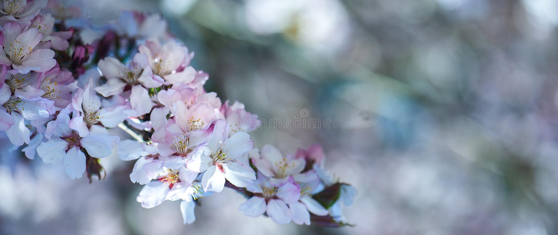 El fondo apacible de la primavera floral, cereza floreciente Sakura ramifica fotografía de archivo libre de regalías