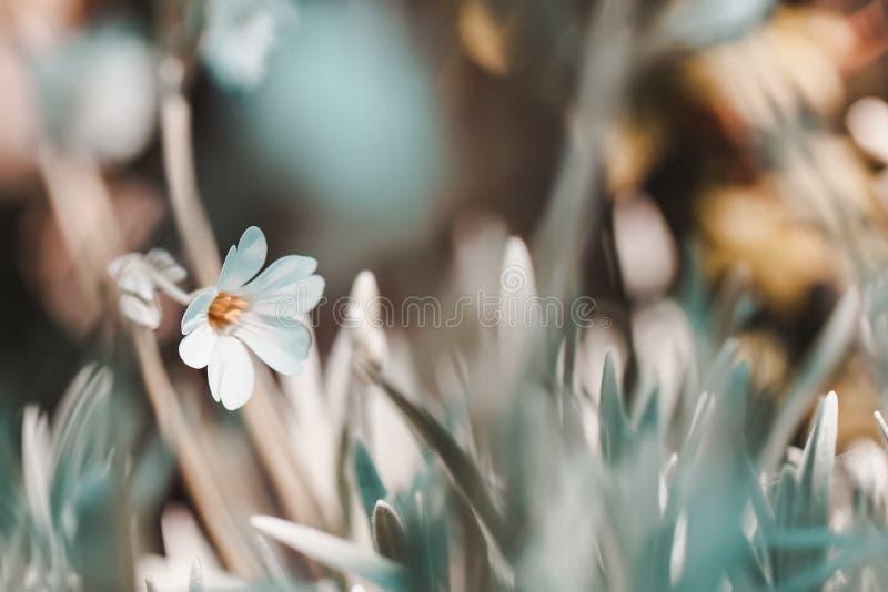 El fondo borroso floral de la primavera del vintage, natural primero florece primaveras en hierba imagen de archivo libre de regalías
